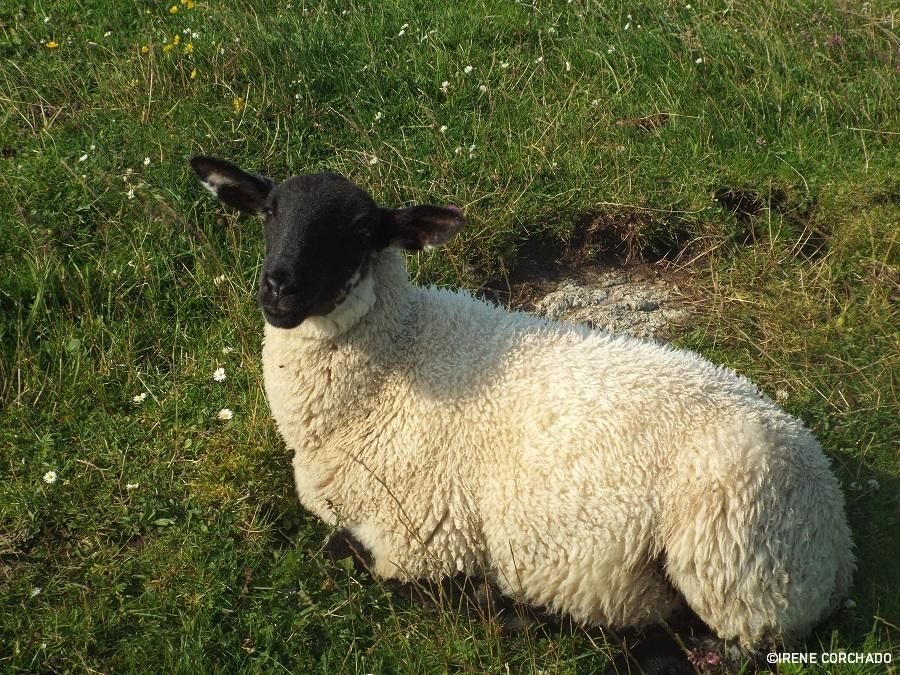 ovejas-escocesas-iona-islas-de-escocia